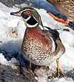 Wood duck in CP (40870).jpg