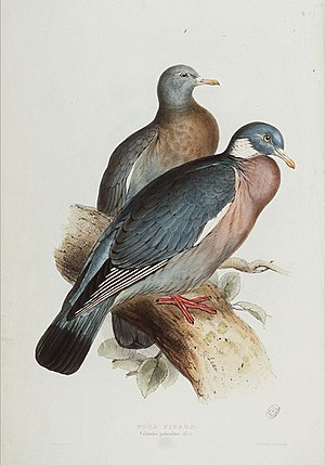Illustration of Columba palumbus Linn., (Wood ...