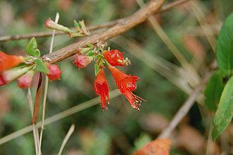 Woodfordia fruticosa - Woodfordia fruticosa