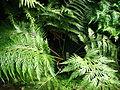 Woodwardia orientalis (in a greenhouse) 01.JPG