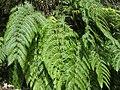 Woodwardia radicans. Felechu montés.jpg