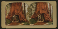 Wowona (Wawona), Mariposa Grove, Cal, from Robert N. Dennis collection of stereoscopic views.png