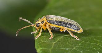 Elm leaf beetle - Image: Xanthogaleruca luteola MHNT Profil
