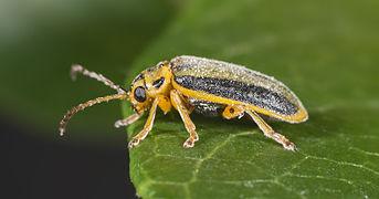 Xanthogaleruca luteola MHNT Profil.jpg
