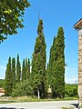 Xiprers del cementiri de Santa Maria de Merlès - panoramio.jpg