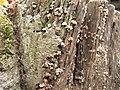 Xylobolus spectabilis 830190.jpg