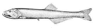 Stomiiformes - Yarrella blackfordi (Phosichthyoidei: Phosichthyidae)