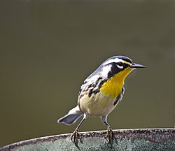 Yellow-Throated-Warbler.jpg