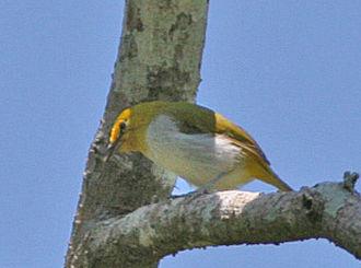 Yellow-ringed white-eye - Image: Yellow ringed White eye (Zosterops wallacei) (8074129047) (cropped)
