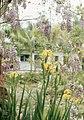 Yellow iris and Wisteria. Exotic gardens. West Morocco (37756570851).jpg