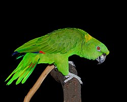 3. Yellow-naped Amazon