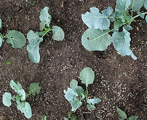 English: Young Calabrese broccoli plants with ...