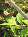 Ypthima ypthimoides Moore, 1881 – Palni Four-ring at Mannavan Shola, Anamudi Shola National Park, Kerala (21).jpg