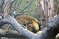 ZSL London - Red Ruffed Lemur 02.jpg