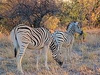 Zebra with Calf Etosha.jpg