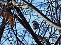 Zimovka, ženka (Pyrrhula pyrrhula) Eurasian Bullfinch, female.jpg