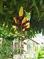 Zingiberales - Heliconia rostrata - 3.jpg