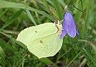 Zitronenfalter Gonepteryx rhamni.jpg