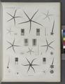 Zoologie. Echinodermes. Ophiures (NYPL b14212718-1268605).tiff