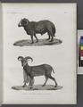 Zoologie. Mammifères. 1. Bélier à large queue; 2. Moufflon à manchettes (NYPL b14212718-1268471).tiff