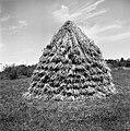 """""""Lonca"""" žitnih snopov, Materija 1955.jpg"""