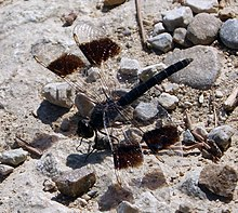 'Brachythemis impartita' (Northern Banded Groundling). - Flickr - gailhampshire (1).jpg