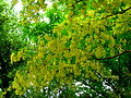 'Golden rain' (Common Laburnum).JPG