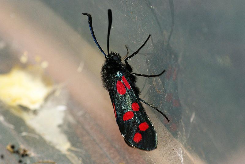 File:(0169) Six-Spot Burnet Zygaena filipendulae (3717915680).jpg