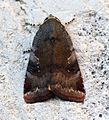 (2111) Lesser Broad-bordered Yellow Underwing (Noctua janthe) (14502332969).jpg