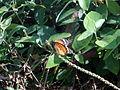 (Danaus chrysippus) plain tiger at Tenneti park 02.JPG