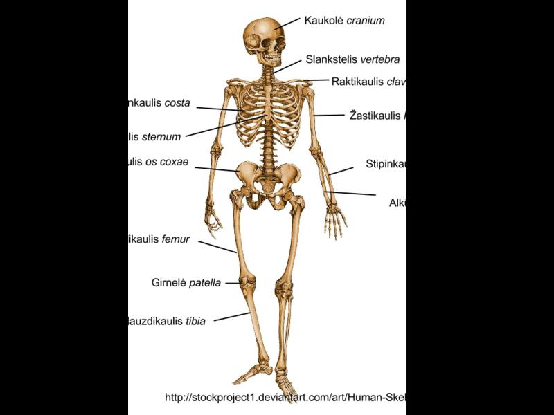 Zmogaus skeletas