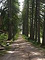 Большой Соловецкий остров Лиственница аллея.jpg