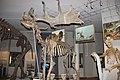 Гигантский олень. Музей природы. Екатеринбург. Ноябрь 2014 - panoramio.jpg