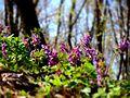 Голосіївський ліс. Весна.JPG