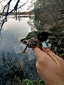 Гостроморда жаба.jpg