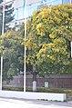 Клен гостролистий по вулиці Соборній, 9 у Кам'янець-Подільському. Фото 2.jpg