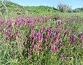 Марьянник полевой степь у Саратова.jpg