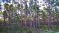 Мыс Колка (Латвия) Молодой сосновый лесок на закате - panoramio.jpg