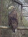 Орлан белохвост (Penza Zoo 2009).jpg