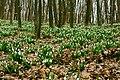 Підсніжники у лісі-2.jpg