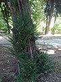 Тиса, Ботаничка башта Јевремовац, 01.JPG