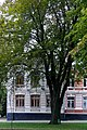Хмельницький, Бук червоний, зростає на вулиці Гагаріна, 5 P1270506.jpg