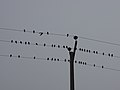 رفتار عجیب سارها بر روی تیرهای برق در اطراف شهر قم، ابتدای فصل زمستان - عکاس. مصطفی معراجی 15.jpg