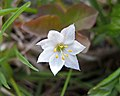 七瓣蓮 Trientalis europaea -挪威 Hardangervidda National Park, Norway- (35114892774).jpg