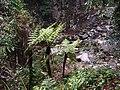 刺桫椤树 - Spinulose Tree Ferns - 2014.01 - panoramio.jpg