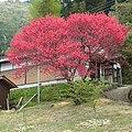 大深町集会所の桃の花 2012.4.25 - panoramio.jpg