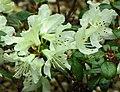 康南杜鵑 Rhododendron wongii -日本大阪鮮花競放館 Osaka Sakuya Konohana Kan, Japan- (42277025351).jpg