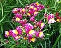 摩洛哥柳穿魚 Linaria maroccana -上海國際花展 Shanghai International Flower Show- (17146209217).jpg
