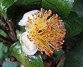 普洱茶 Camellia assamica -香港公園 Hong Kong Park- (37626743695).jpg