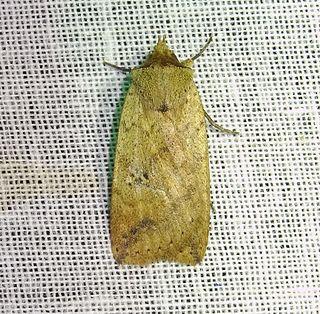 <i>Xylostola indistincta</i> species of insect
